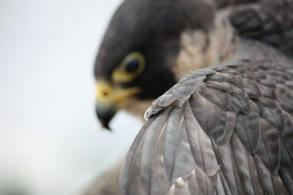 Leslie Goodyear Falconry